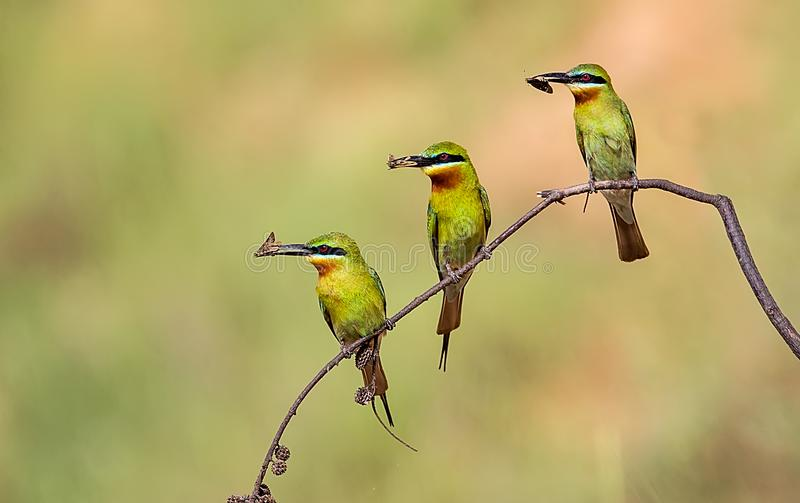 Bee-eater stock photography
