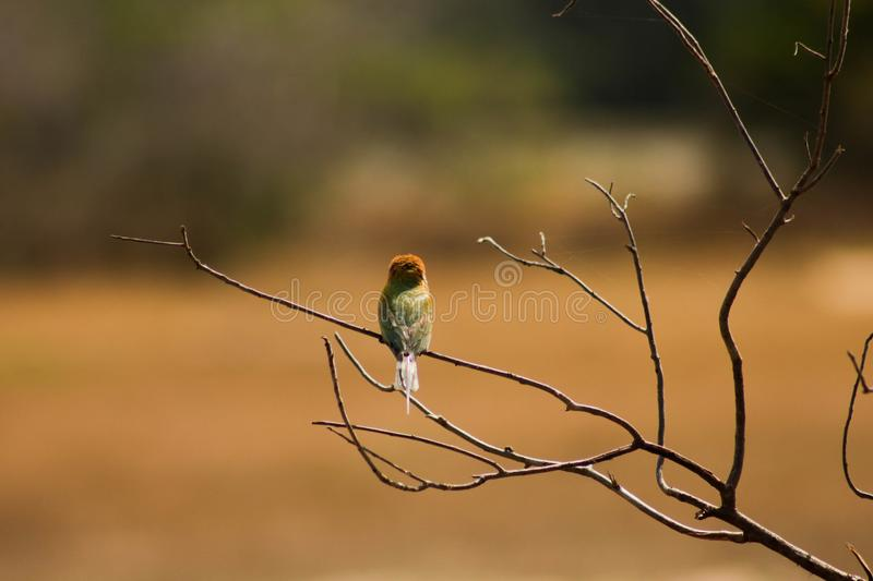 Bee Eaters-bird back side. At Wilpattu national park,Sri Lanka The bee-eaters are a group of near-passerine birds in the family Meropidae containing three genera royalty free stock image
