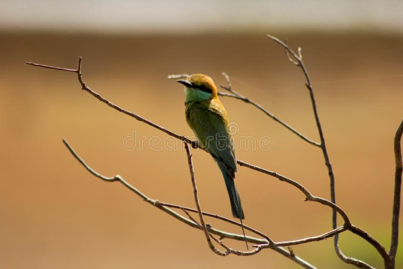 Bird-Bee Eaters-bird back side. Back bee bird eaters bird Sri Lanka national park side Vilpaththu stock image