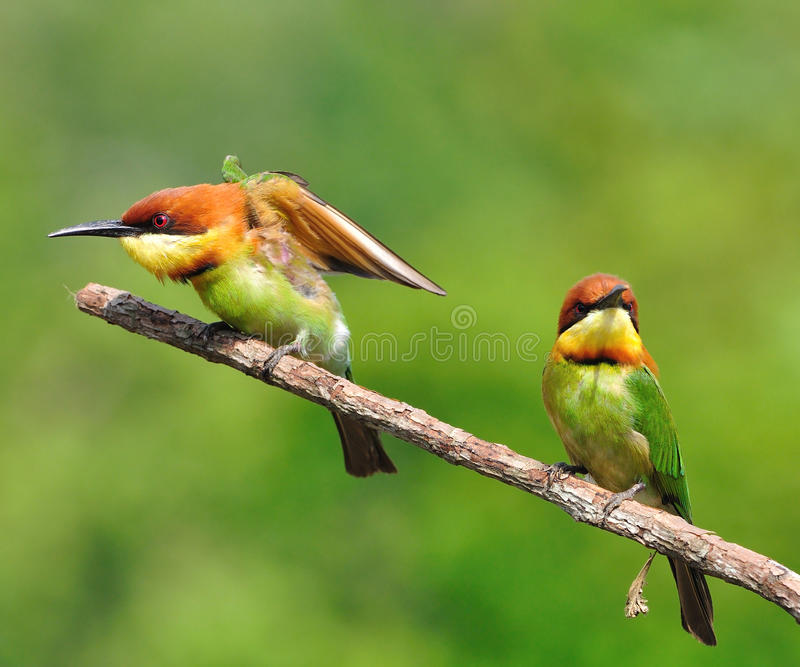 Bee-eaters Châtaigne-dirigés images libres de droits
