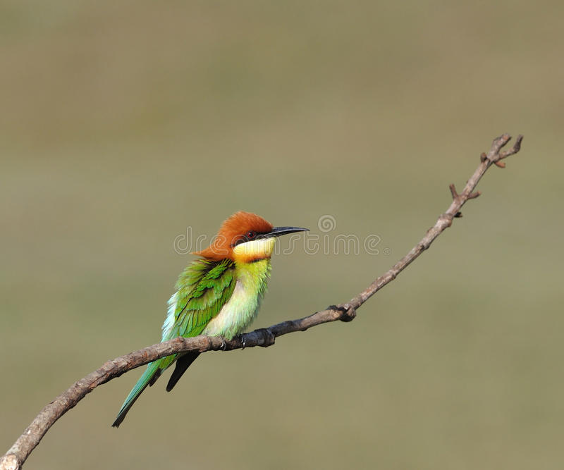 Bee-eaters Châtaigne-dirigés photos libres de droits