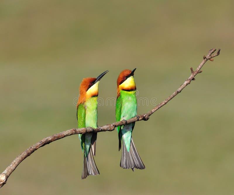 Bee-eaters Châtaigne-dirigés photographie stock