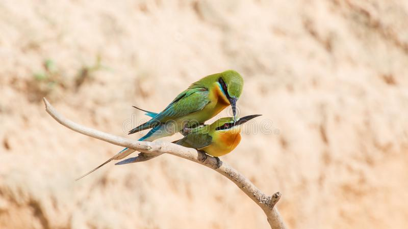 Bee-eaters in love. Every spring and early summer, bee-eaters find a suitable place to dig a hole, to take it as its nest, lay eggs and give birth of baby birds