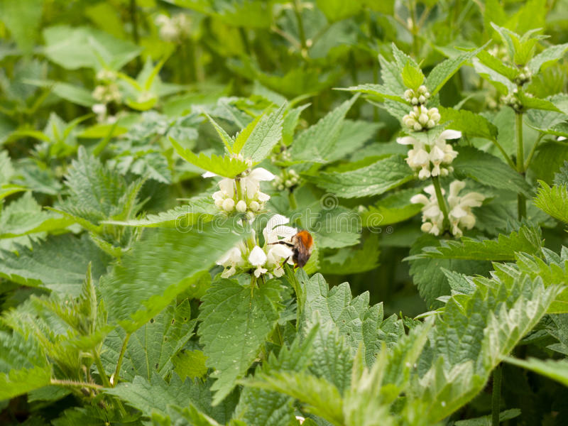A Bee Eating the Pollen From A White Flower on Nettle Plant. A bee upon the flowerhead of a nettle plant stock images