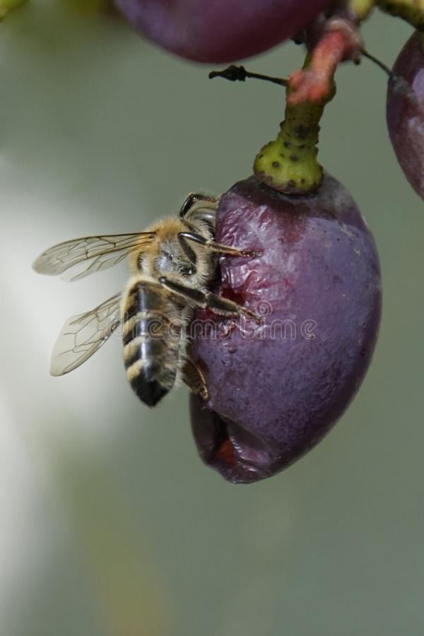 A bee eats sweet grapes. Autumn harvest and the warmth of Indian summer. Vertical shot. A bee eats sweet grapes. Autumn harvest and the warmth of Indian summer stock photos