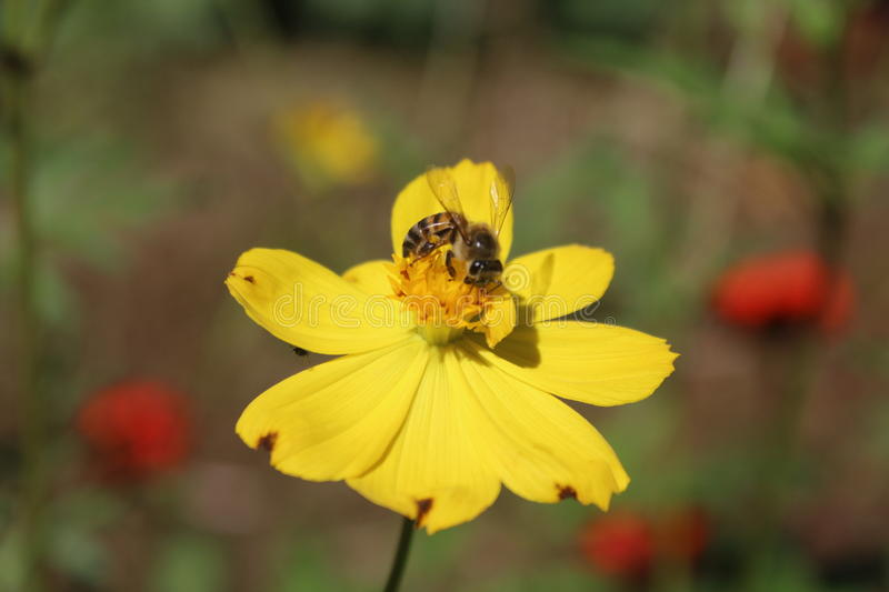 Bee Enjoying a collecting pollen, royalty free stock photography