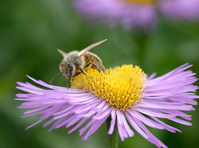 Download Bee on Erigeron stock photo. Image of blossom, bloom, honey - 169846