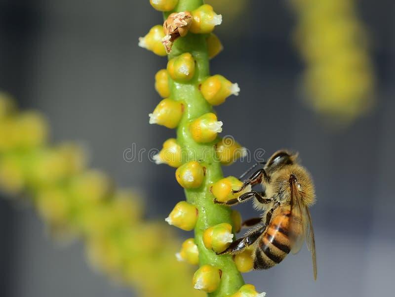 Bee Feeding. On Palm Flowers stock photo