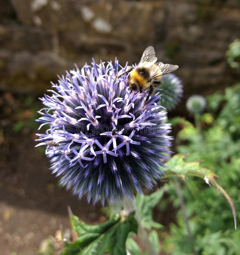 Bee feeding on blue flower royalty free stock photography