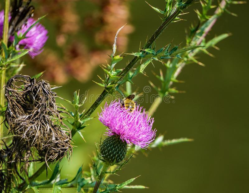 Bee Feeding on a Bull Thistle royalty free stock photo