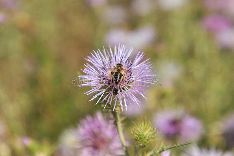 Bee feeding on the rich nectar of the flower.  stock photo