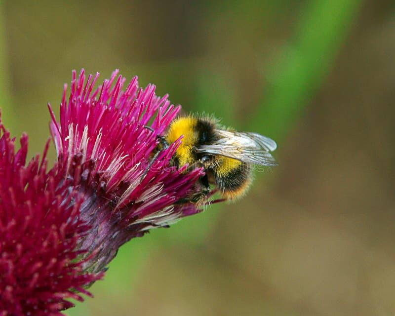Bee feeding on thistle royalty free stock photo