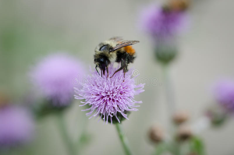 Bee feeding on a thistle royalty free stock photography