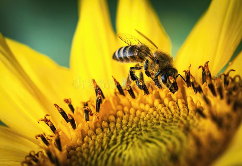 The bee feeds on a sunflower stock photo