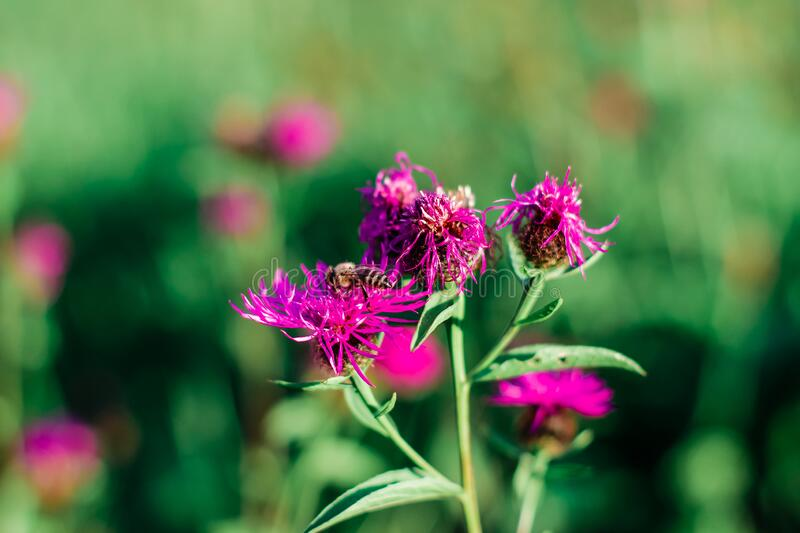 A bee in the field collects pollen flower. Little bee in the summer in the field collects pollen on a pink flower on a blurred green background royalty free stock photography