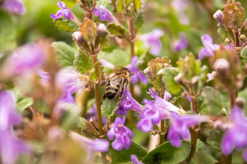 A bee flies between plants while collecting pollen from flowers. A small flower and a bee on it stock photography
