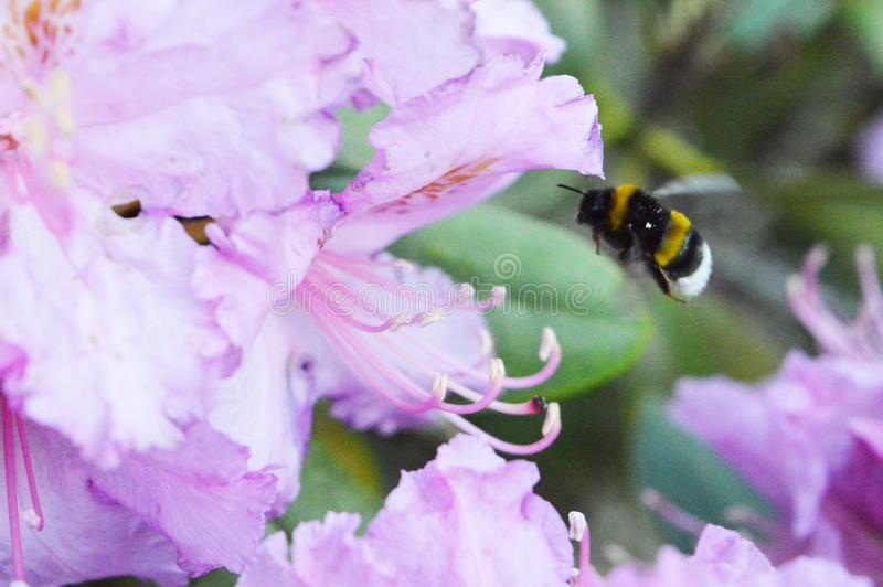 A bee flies to the flower royalty free stock photography