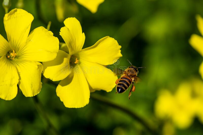 A bee flies to the yellow flower to catch pollen royalty free stock photos