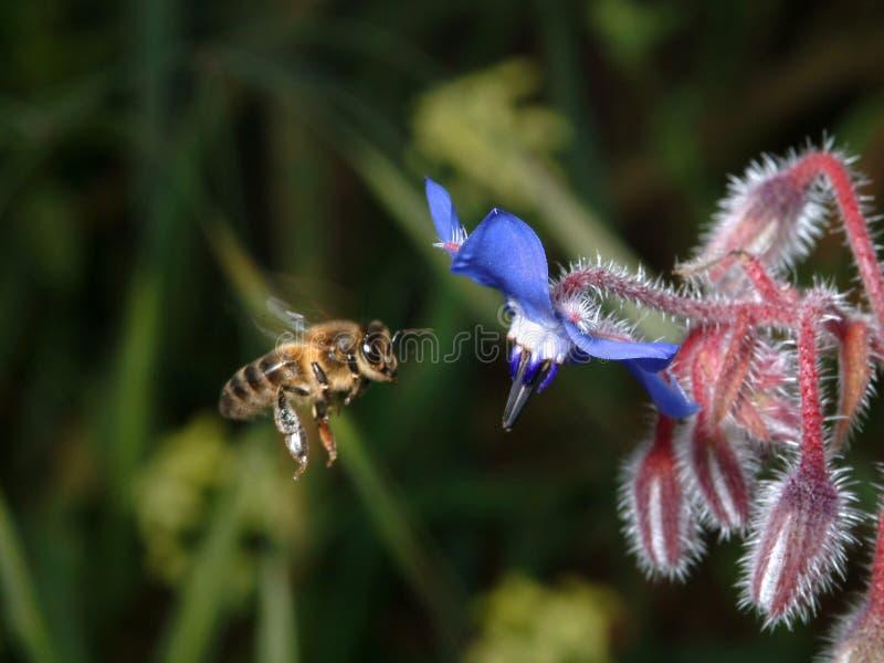 Bee in flight. Bee on work stock images