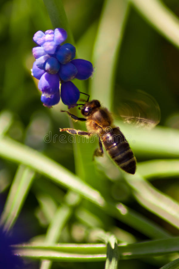 Download A Bee In Flight, With A Blue Flower Stock Image - Image: 19869535