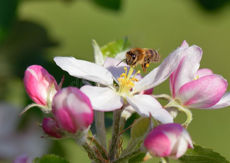 Bee in Flight royalty free stock images