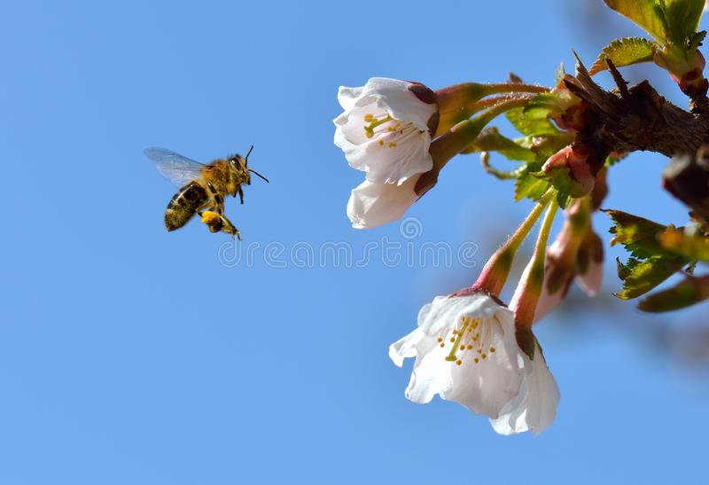 Bee in Flight. A bee on a flower in flight stock photography