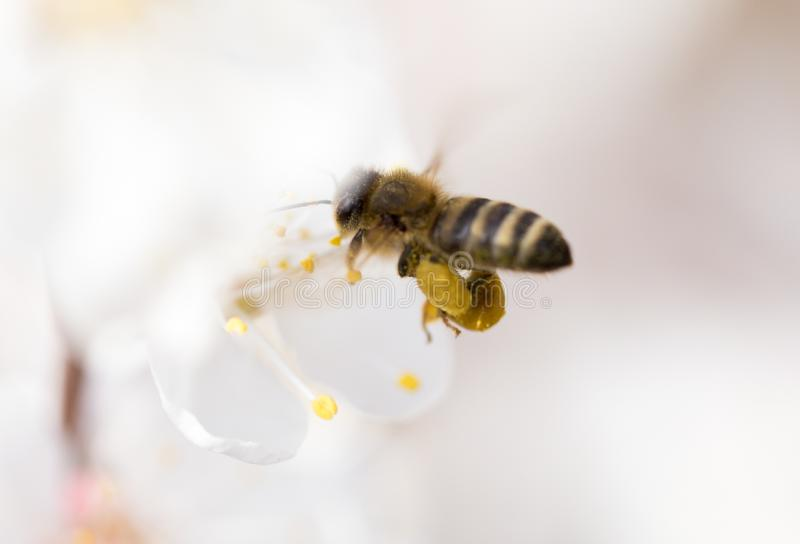 Bee in flight in nature royalty free stock photos