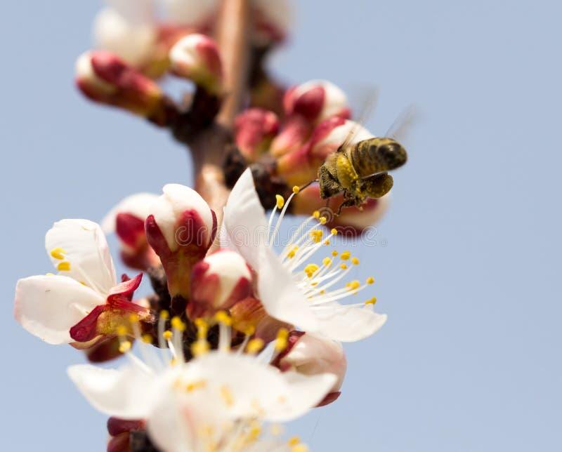 Bee in flight in nature stock photos