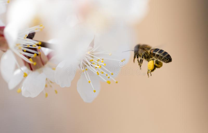 Bee in flight in nature stock images