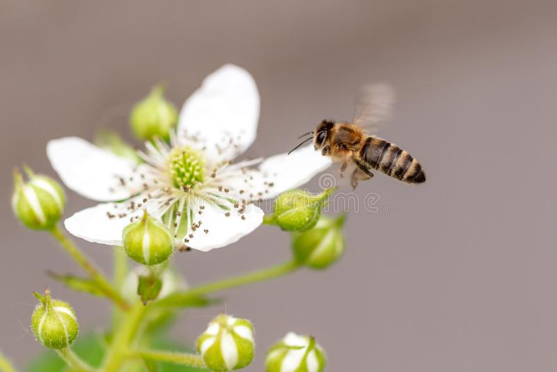 Bee in flight on nature. stock photo