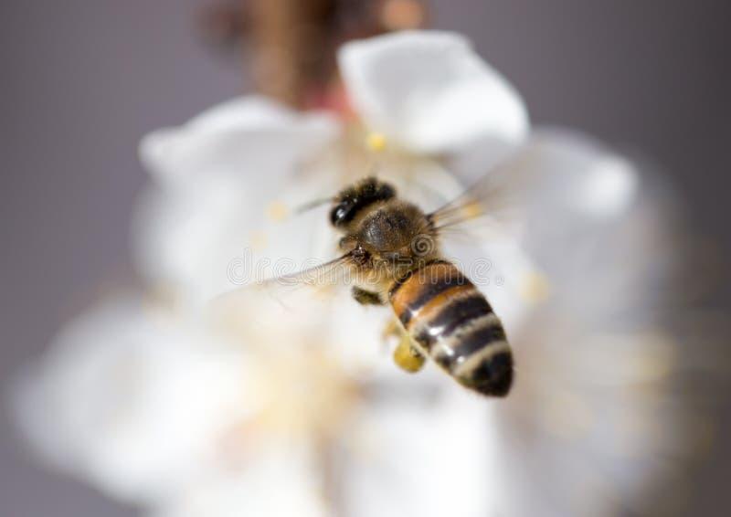 Bee in flight in nature stock image