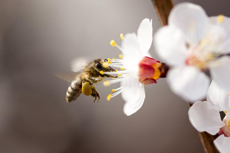 Bee in flight in nature royalty free stock photo
