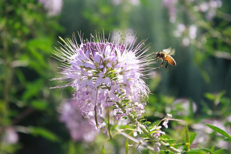 Bee, Flora, Flower, Honey Bee royalty free stock photography