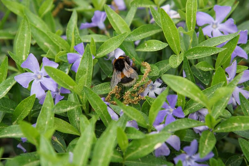 Bee, Flora, Plant, Pollinator royalty free stock photography