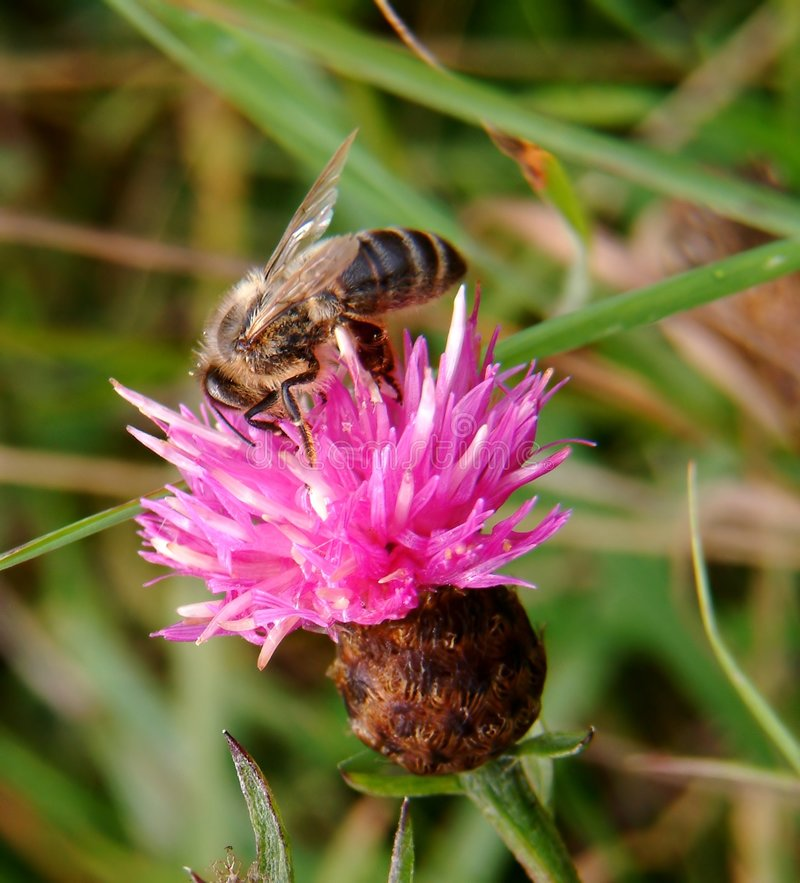 Download Bee On Flower Royalty Free Stock Photos - Image: 3238
