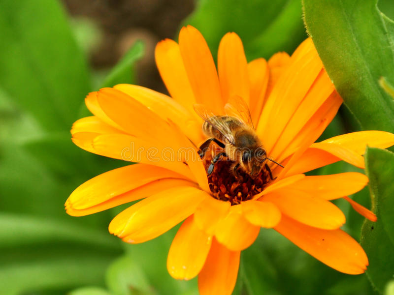 Bee on flower. Worker bees were and its daily work royalty free stock photos