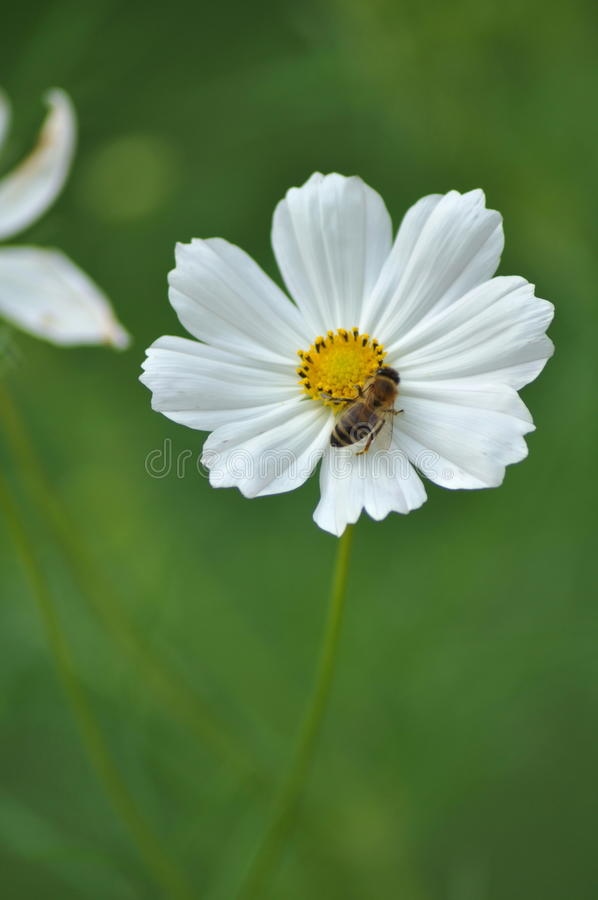 Bee on flower. Bee pollinating a flower with white petals stock photo