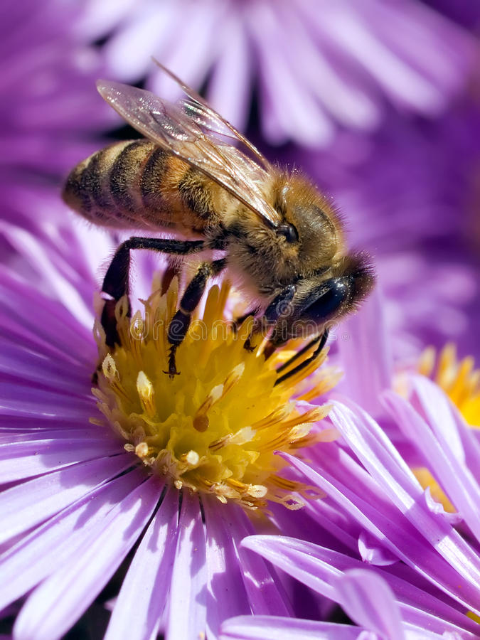 Bee on flower. Hairy bee on violet flower stock photography