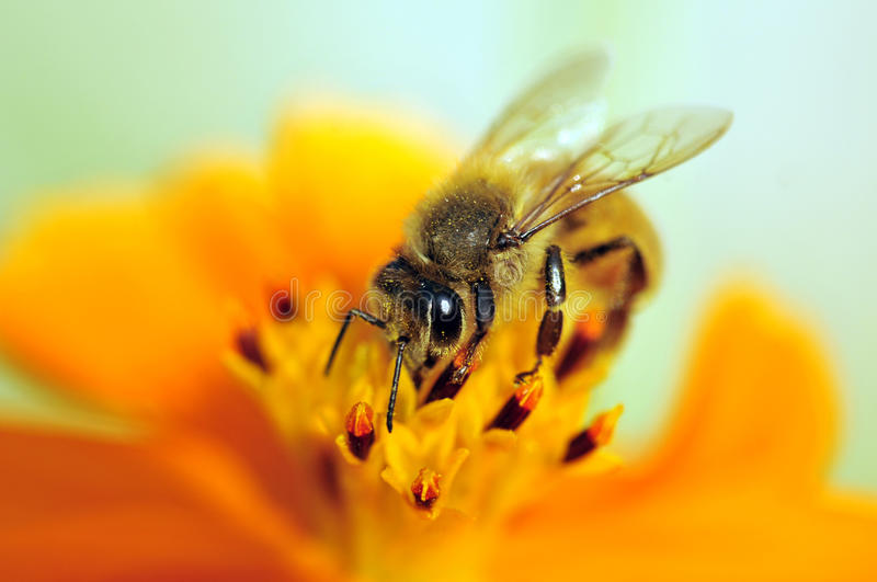 Bee on flower. Bee sucking honey from yellow flower stock photos