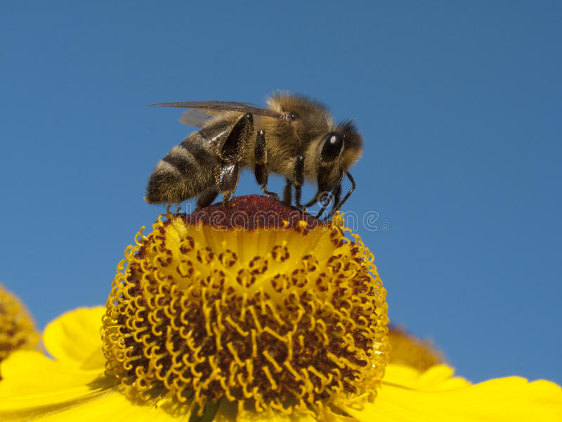 Bee and flower. Bee sucking honey from yellow flower stock photos
