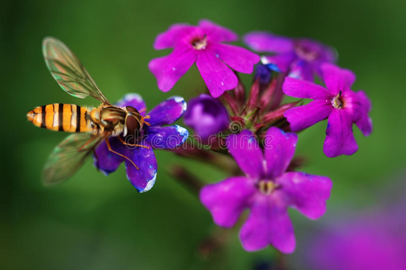 Bee on the flower. The bee fling her wing and stand on the purple flower,it's gathering honey royalty free stock photography