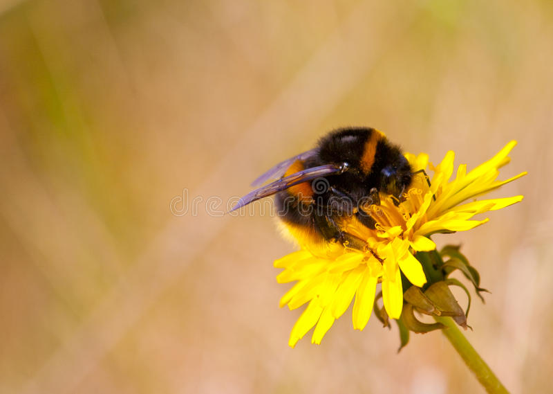 Bee on flower. Bumble bee feeding from a dandelion flower at Ynyslas nature reserve royalty free stock photos