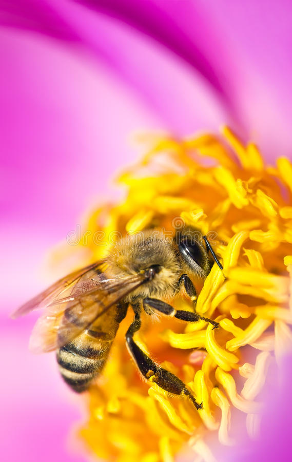 Bee in flower. Bee on a pink flower stock image