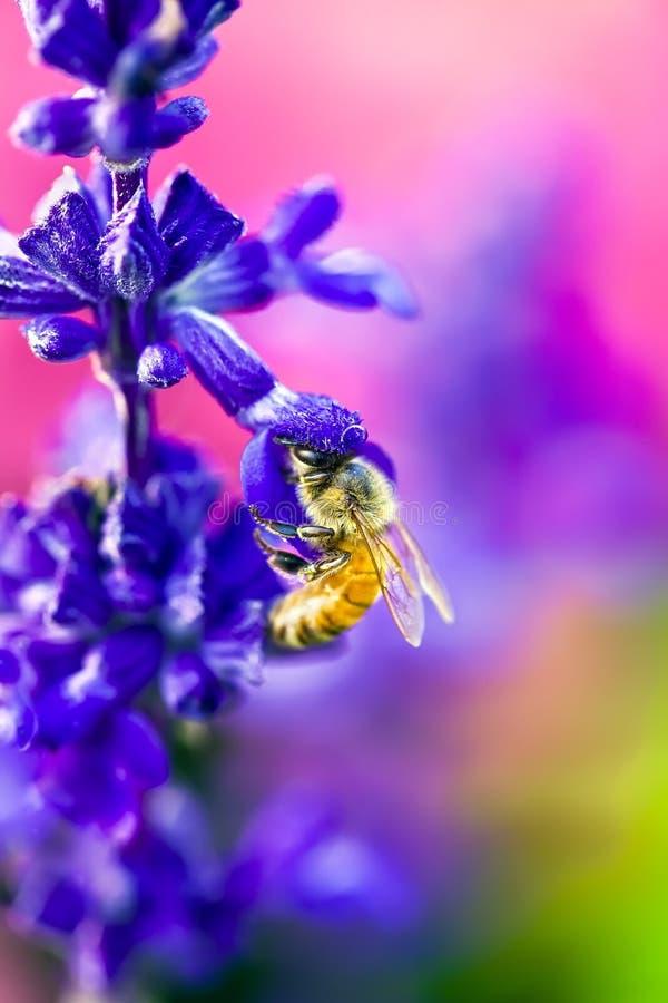 Bee in flower. Bee on a purple flower royalty free stock photo