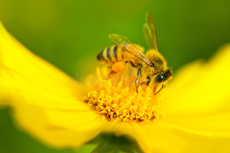 Bee in flower. Bee on a yellow flower stock photography