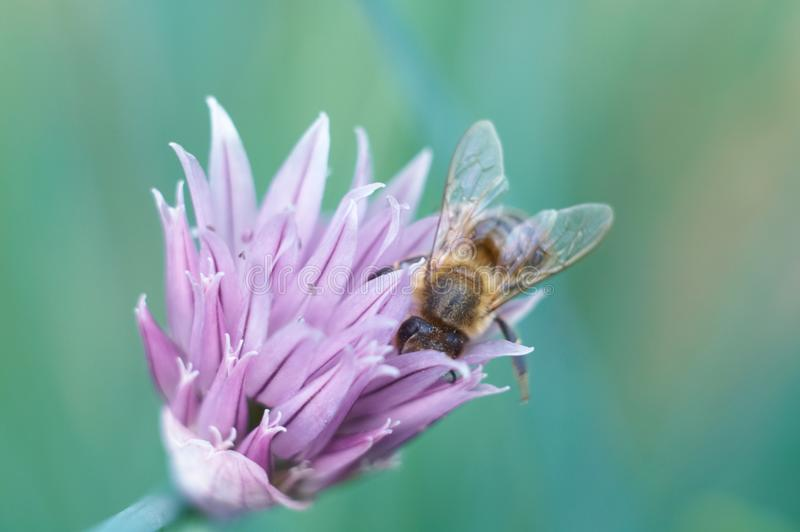 Download Bee on flower stock image. Image of apoidea, purple, macro - 14856631