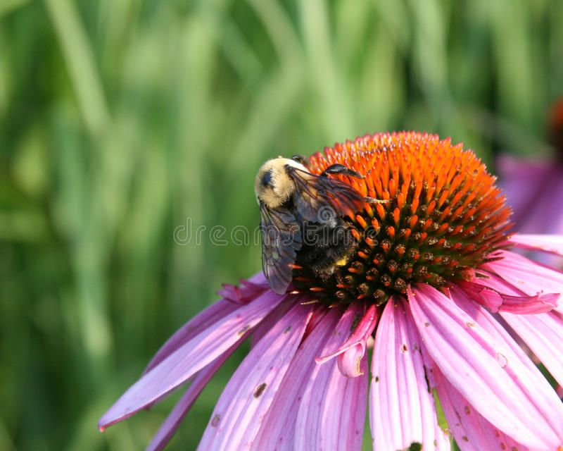 Download Bee and Flower stock photo. Image of flowers, spring - 14859388