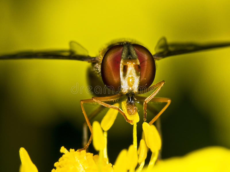 Bee in flower. View of a fly on a flower with pollen royalty free stock image