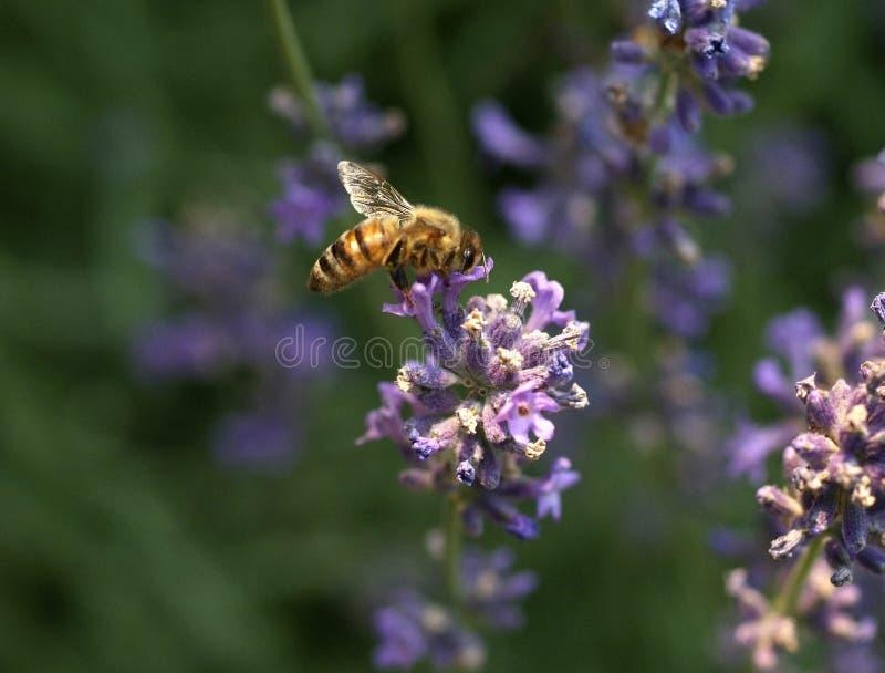 Download Bee on flower stock image. Image of worcking, lavender - 2117689