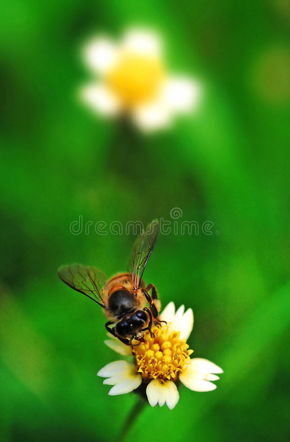 Bee on Flower. A bee do a flower stock photography